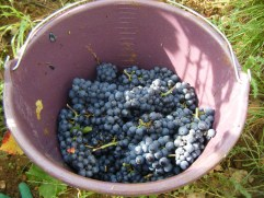 Grapes from NSG 1er Les Porrets 03102013
