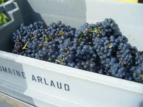 Quality grapes from NSG 1er Les Porrets 03102013