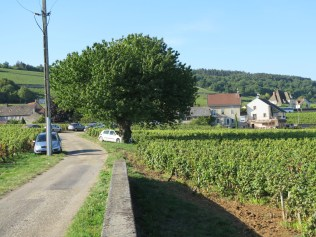 Towards Chambolle from 1er cru Chatelots (the car hasn't crashed into the tree - just parked there)
