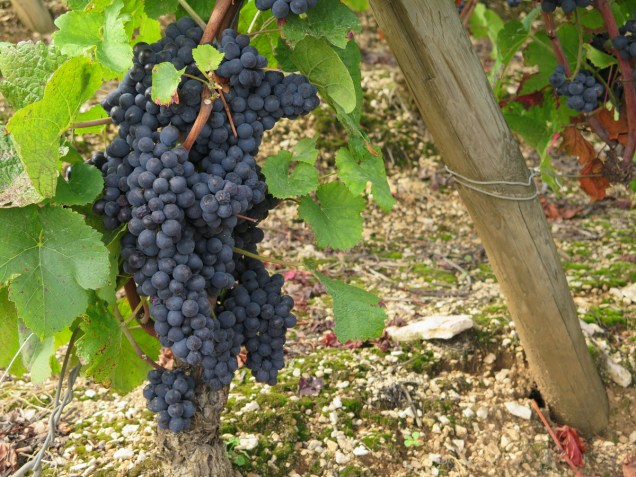 Grapes in Morey Luisants