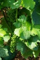 Already big fat grapes in Romanée-Conti...
