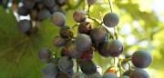 wasps – lucky burgundy…
