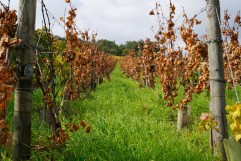 Death in Musigny - Freddy Mugnier to replant about 4 parcels...