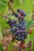 Southern Beaujolais Pinot 18 August