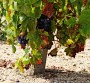 Southern Beaujolais Gamay18 August