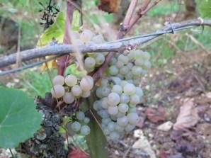 Arlaud-Aligote-Fruit-Badlands