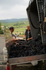Basic sorting at Château Thivin