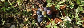 Discarded grapes...
