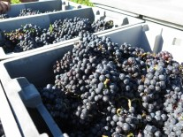 Arlaud-Chambolle-Village-fruit