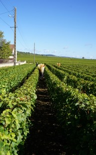 Garaudet harvesting Puligny villages