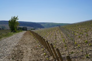 Replanted Volnay Ez Blanches - the hill of Meursault and Auxey in the background