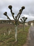 Love a nice pruned tree (Chambolle)