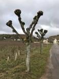 Love a nice pruned tree (Chambolle)