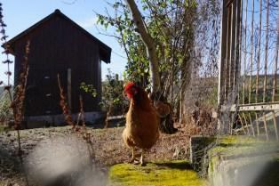 Poulet-Poulet, poulet-poulet... (et-cetera)