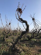 Old-style tying of the gamay vines