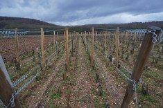 The vines of Leroy with the unplanted Drouhin-Laroze parcel to the left