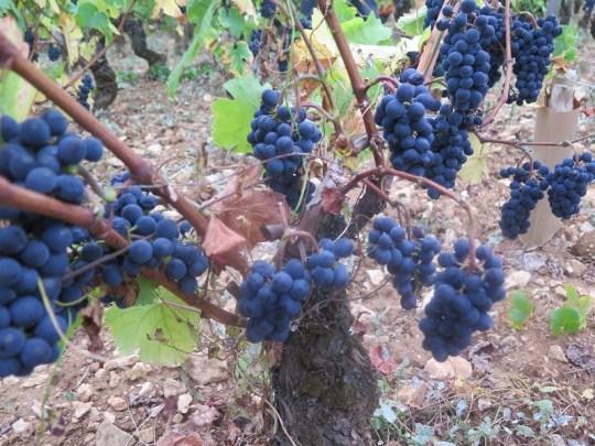 Charmes-Cham-near-road-grapes