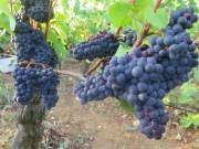 marko's burgundy vendange day eight…