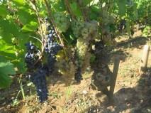Err white & red grapes on same Vosne vine 11092018