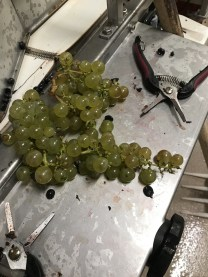 Table grapes in Chorey!