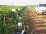 Individual Buckets pre start of H-C Pinot picking 12092018