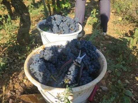 Marko & Laetitia Buckets awaiting emptying H-C Pinot 12092018