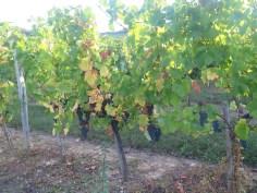 Non Arlaud High Trained Hautes-Cotes Pinot 12092018