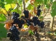 Lower part Vougeot fruit