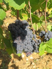 Noellat Cuverie Rear Vosne Village Grapes