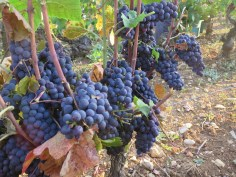 Noellat Echezeaux fruit (1)