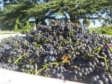 Noellat Vosne Village Grapes sur le camion