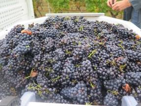 Hautes-Cotes Rouge grapes on truck