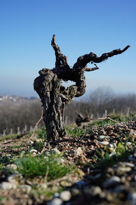 Burgundy Report - 2018 Beaujolais