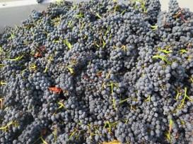 Noellat-Vosne-Village-1st-morning-grapes