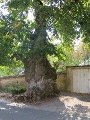 Domaine Boursot Chambolle Adjacent Ancient Oak Tree