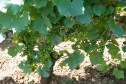 Looks like a good yield in this part of Chambertin