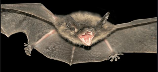 Bat rabid flying