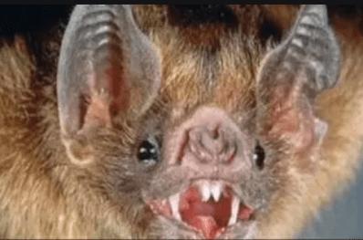 Bat rabid
