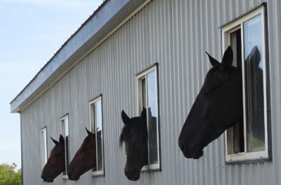 Horses at windows