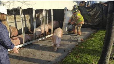 pigs-leaving-truck
