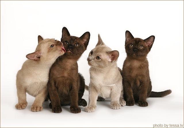 https://i1.wp.com/www.burmese-cats-alliance.com/Bilder/Kitten/0_Anvita_Burmese%201.JPG