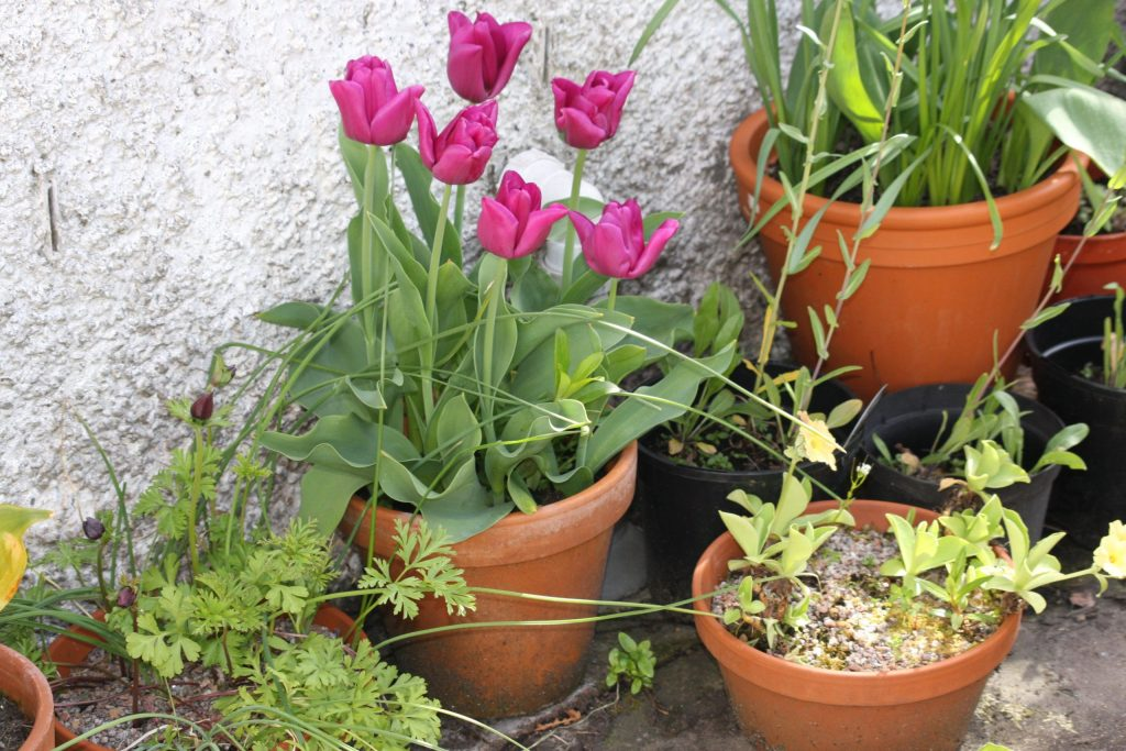 pots with pink tulipa