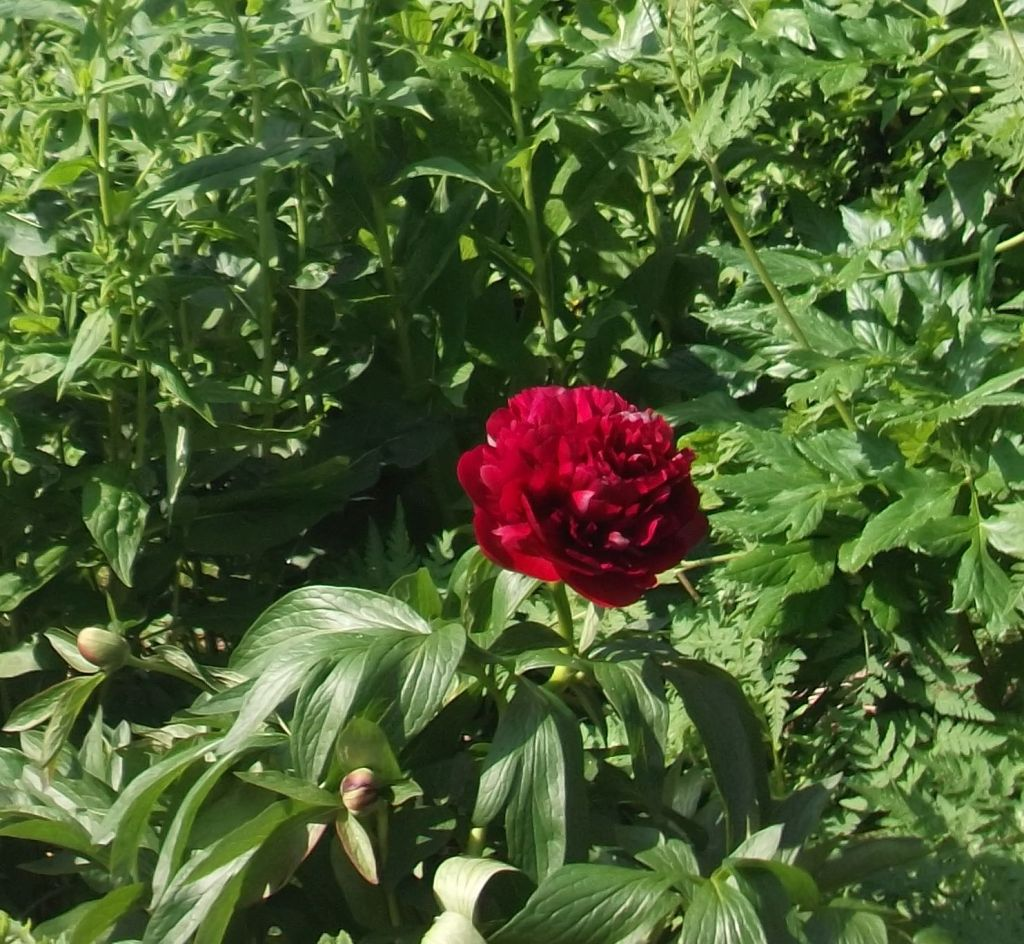 crimson peony against green leaves