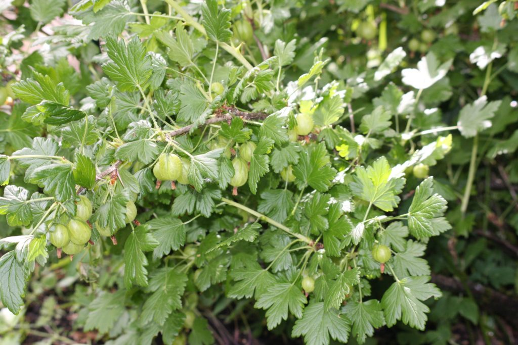 gooseberries, almost ripe