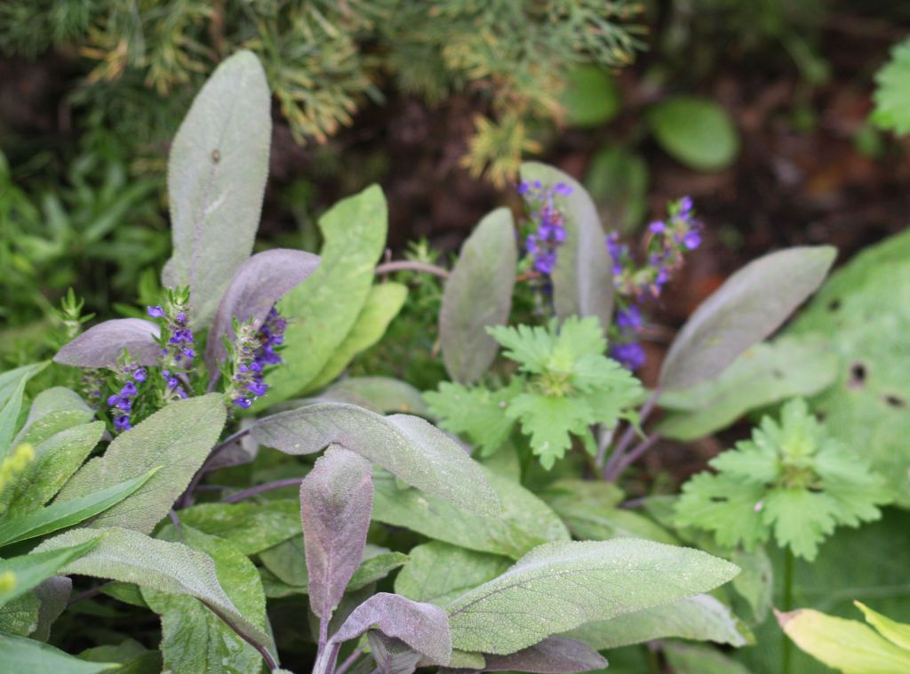 blue hyssop among purple sage