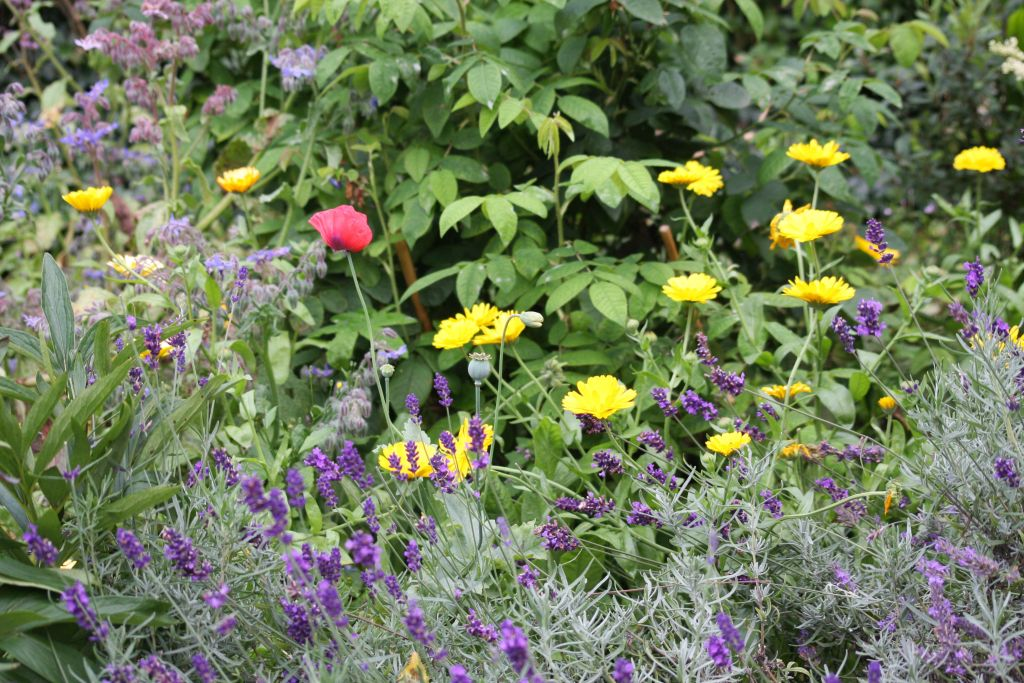 poppy, marigolds, lavendar and borage