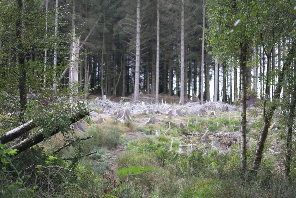 tree stumps in the middle ground, old trees in the background, fallen birches and regenerating seedling trees in the front