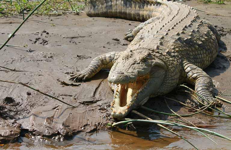Afrikas Top 10 der gefährlichsten Tiere Nile Crocodile