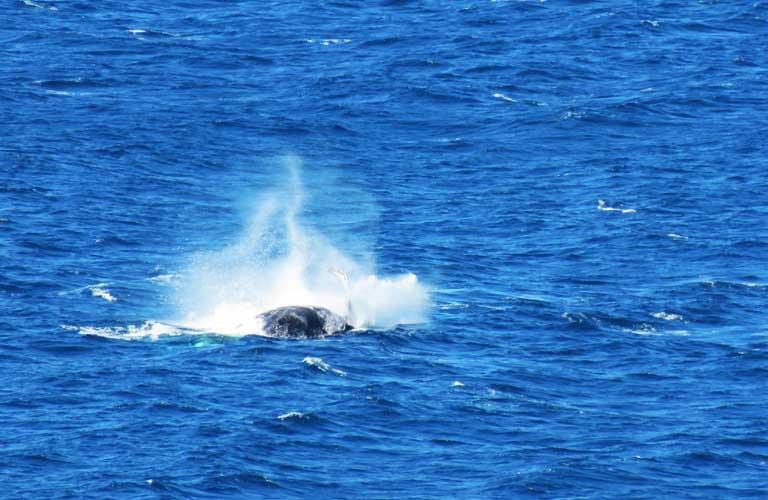 Buckelwale Fraser Island Australien