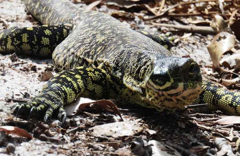 Goanna Fraser Island gefährliche Tiere